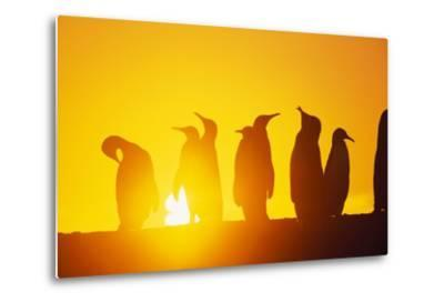 Silhouetted King Penguin Colony at Sunrise--Metal Print