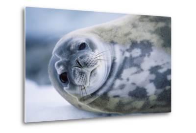 Weddell Seal-Paul Souders-Metal Print