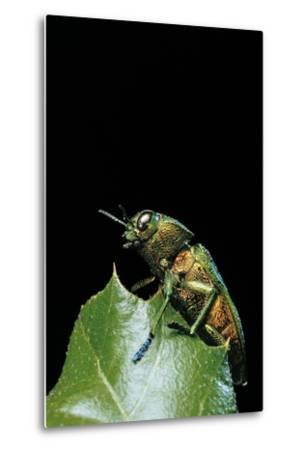Aurigena Unicolor (Jewel Beetle)-Paul Starosta-Metal Print