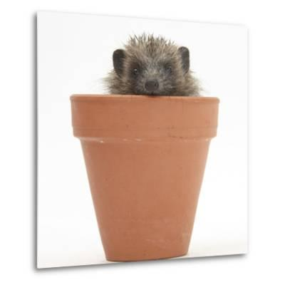 Baby Hedgehog (Erinaceus Europaeus) in a Flowerpot-Mark Taylor-Metal Print