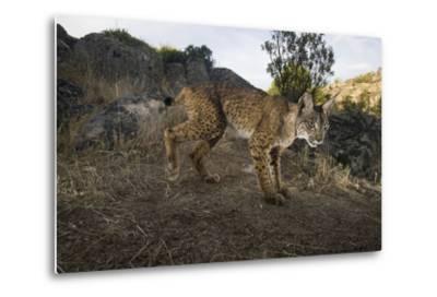 Wild Iberian Lynx (Lynx Pardinus) Male, Sierra De Andújar Np, Spain, Critically Endangered-Oxford-Metal Print