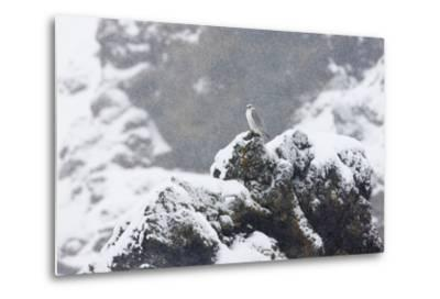 Female Gyrfalcon (Falco Rusticolus) in Snow, Myvatn, Thingeyjarsyslur, Iceland, April 2009-Bergmann-Metal Print
