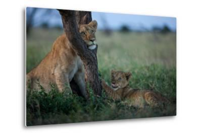 While the Pride Hunts, an Older and Younger Lion Cub Rest at an Acacia Tree-Michael Nichols-Metal Print