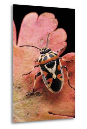 Eurydema Ornata (Shield Bug)-Paul Starosta-Metal Print