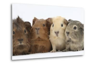 Four Baby Guinea Pigs, Each a Different Colour-Mark Taylor-Metal Print