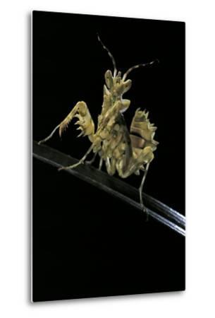 Creobroter Gemmatus (Jeweled Flower Mantis)-Paul Starosta-Metal Print
