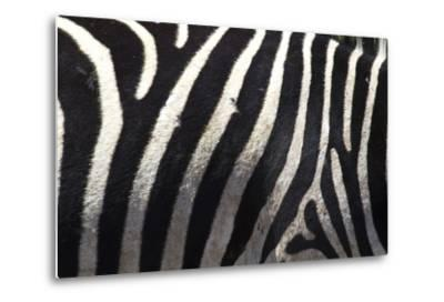 The Flank of a Zebra Showing its Stripes-Michael Melford-Metal Print