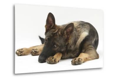 German Shepherd Dog Lying with His Chin on the Floor-Mark Taylor-Metal Print