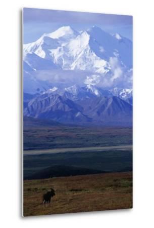 Moose on Tundra Below Mt. Mckinley in Alaska-Paul Souders-Metal Print