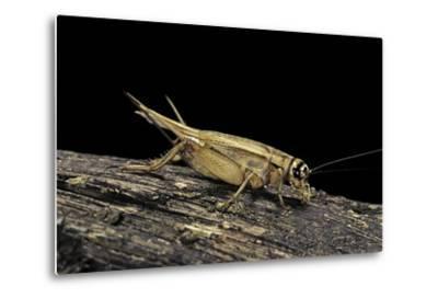 Acheta Domesticus (House Cricket)-Paul Starosta-Metal Print