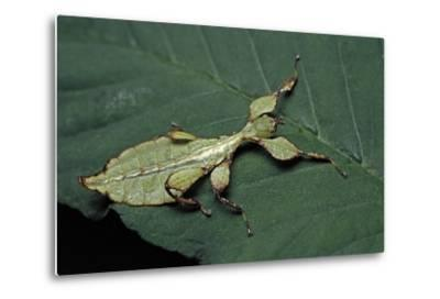 Phyllium Giganteum (Giant Malaysian Leaf Insect, Walking Leaf) - Larva-Paul Starosta-Metal Print