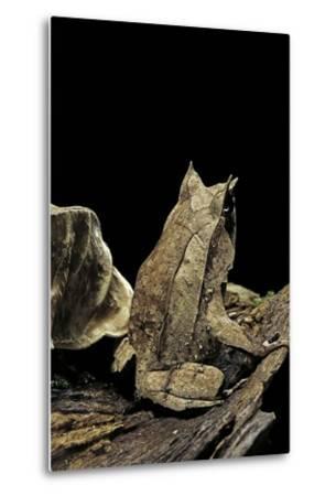 Megophrys Nasuta (Malayan Horned Frog, Long-Nosed Horned Frog, Malayan Leaf Frog)-Paul Starosta-Metal Print