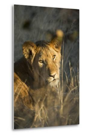 Lion Cub in Tall Grass, Chobe National Park, Botswana-Paul Souders-Metal Print