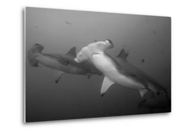 Three Scalloped Hammerhead Sharks, Sphyrna Lewini, Swimming Among Smaller Fish-Jeff Wildermuth-Metal Print