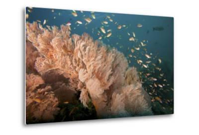 Reef Scene of Sea Fans and Schools of Anthias Fish-Tim Laman-Metal Print