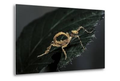 Extatosoma Tiaratum (Giant Prickly Stick Insect) - Larva-Paul Starosta-Metal Print