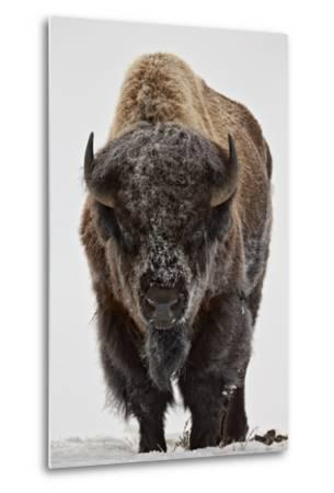 Bison (Bison Bison) Bull Covered with Frost in the Winter-James Hager-Metal Print
