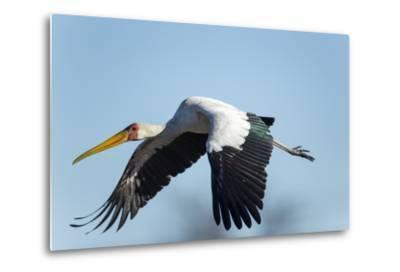 Yellow Billed Stork, Moremi Game Reserve, Botswana-Paul Souders-Metal Print