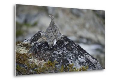 A Ptarmigan, Lagopus Species, in Summer Plumage, on a Rock-Keith Ladzinski-Metal Print