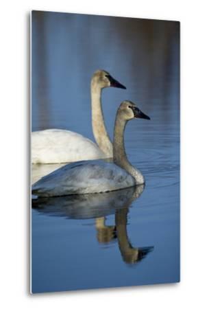 A Pair of Trumpeter Swans, Cygnus Buccinator, Swimming-Michael S^ Quinton-Metal Print