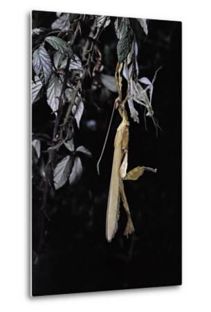 Extatosoma Tiaratum (Giant Prickly Stick Insect) - Emerging-Paul Starosta-Metal Print