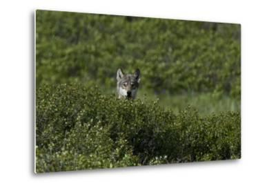 A Female Gray Wolf, Canis Lupus, Peering over a Shrub Near Her Den-Peter Mather-Metal Print