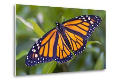 A Monarch Butterfly, Just after Emerging from a Chrysalis-Michael Melford-Metal Print