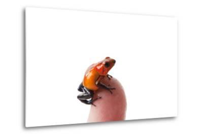 Isla Colon Morph of the Strawberry Poison Dart Frog, Oophaga Pumilio-Joel Sartore-Metal Print