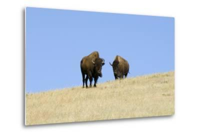 Two American Bison, Bison Bison, on the Top of an Hill-Sergio Pitamitz-Metal Print