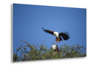 Fish Eagles Mating, Chobe National Park, Botswana-Paul Souders-Metal Print