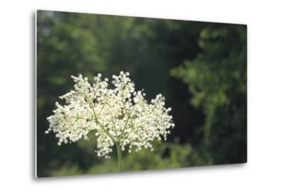 Black Elder Flowers, Sambucus Nigra, Against a Blue Sky with Clouds-Joe Petersburger-Metal Print