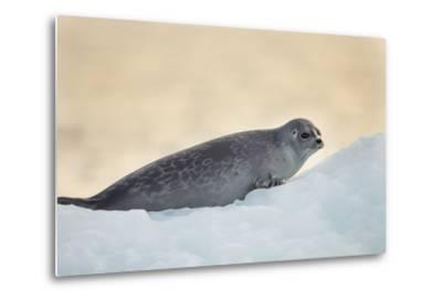 Ringed Seal Pup, Nunavut, Canada-Paul Souders-Metal Print