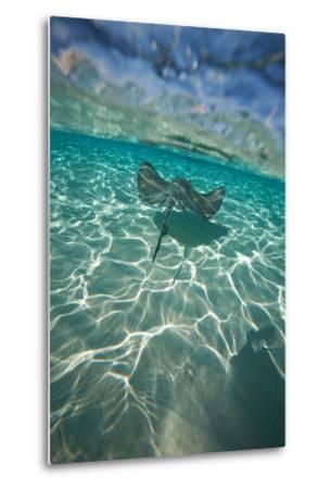 A Stingray Swims over a Series of Shallow Sandbars Off the Cayman Islands-Chris Bickford-Metal Print