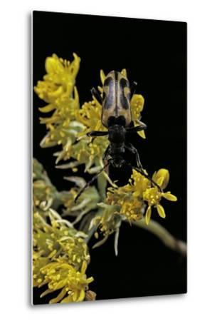 Brachyta Interrogationis (Long-Horned Beetle)-Paul Starosta-Metal Print