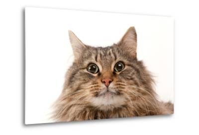 A Studio Portrait of a Domestic House Cat Named Rocket-Joel Sartore-Metal Print
