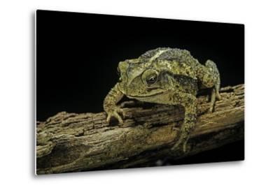 Incilius Valliceps (Gulf Coast Toad)-Paul Starosta-Metal Print