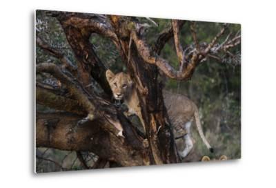 A Lion Cub, Panthera Leo, Climbing in an Acacia Tree-Sergio Pitamitz-Metal Print