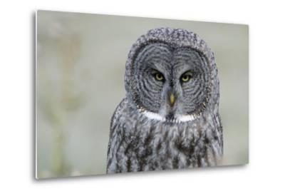 The Face of a Great Gray Owl Looking for Food-Barrett Hedges-Metal Print