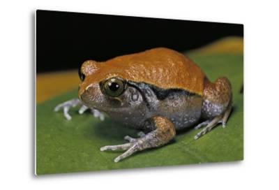 Dyscophus Guineti (False Tomato Frog)-Paul Starosta-Metal Print