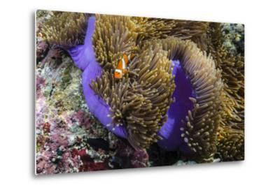 False Clown Anemonefish (Amphiprion Ocellaris)-Michael Nolan-Metal Print