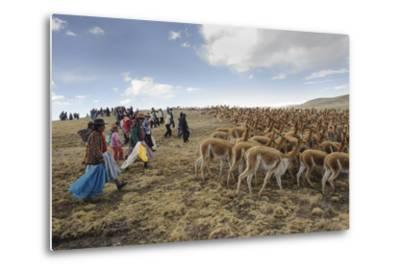 A Line of Quechua Villagers Herd a Group of Wild Vicuna-Beth Wald-Metal Print