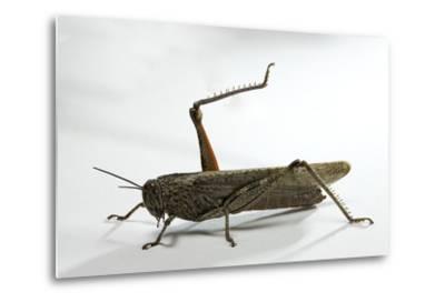 Anacridium Aegyptium (Egyptian Locust)-Paul Starosta-Metal Print