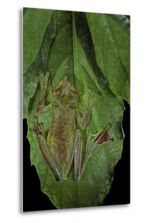 Rhacophorus Prominanus (Malayan Flying Frog)-Paul Starosta-Metal Print
