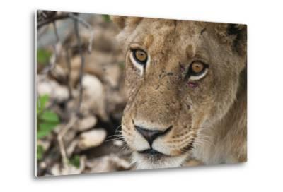 Close Up Portrait of a Lioness, Panthera Leo, with Small Injuries under Her Left Eye-Sergio Pitamitz-Metal Print