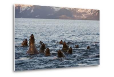 A Pod of Steller Sea Lions, Eumetopias Jubatus, Peering Above the Water's Surface-Michael S^ Quinton-Metal Print