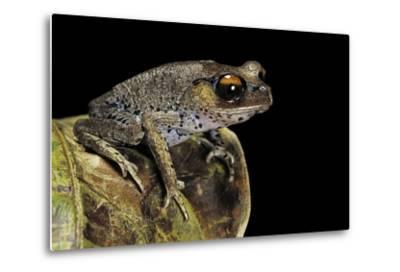 Leptobrachium Hasseltii (Hasselt's Toad, Tschudi's Frog)-Paul Starosta-Metal Print