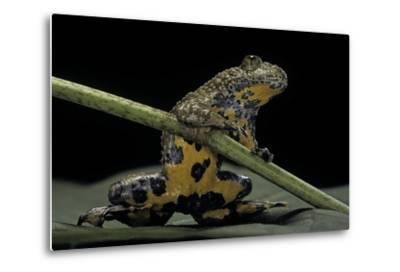 Bombina Variegata (Yellow-Bellied Toad)-Paul Starosta-Metal Print