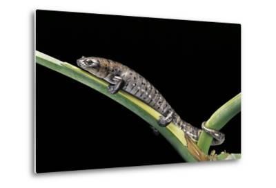 Bolitoglossa Dofleini (Giant Palm Salamander, Alta Verapaz Salamander)-Paul Starosta-Metal Print