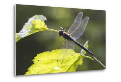 A Common Hawker Dragonfly at Rest on a Leaf Stem at Bartlett Cove-Matthias Breiter-Metal Print