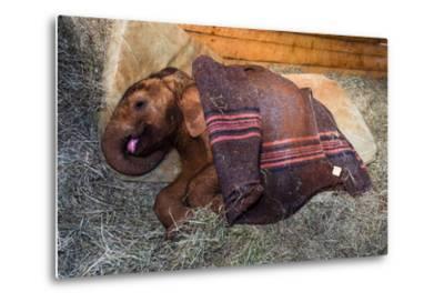 An Orphaned African Elephant Calf Sleeping Beneath a Blanket-Jason Edwards-Metal Print
